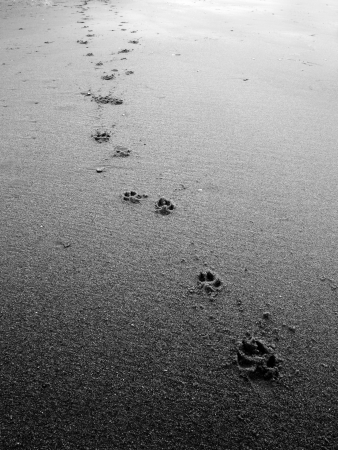 black and white Dog footsteps in sand photo