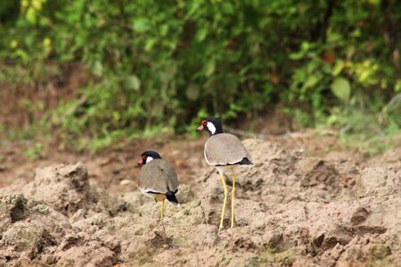 lapwing: tow red-wattled lapwing in nature