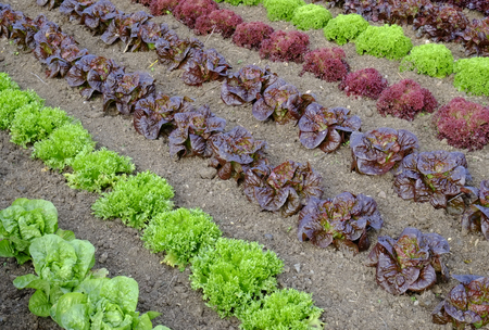 Rows of colourful lettuce salad leaf plants Stock Photo