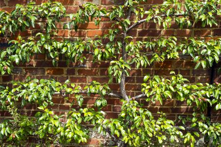 Espalier trained pear tree with young fruit on a brick wall in summer sunshine