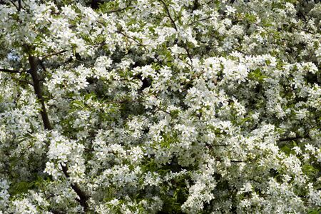 crab apple tree: Profuse white spring blossom on a Cut-leaf Crabapple tree Stock Photo