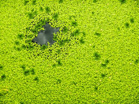 Aquatic plant densely on Bangkok