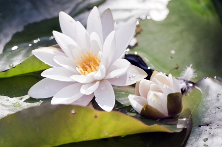 water lily: Water Lily in the Japanese Garden