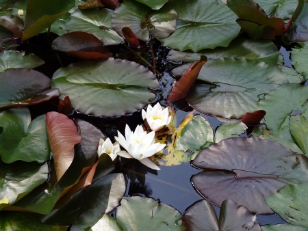Water Lily in the Japanese Garden photo