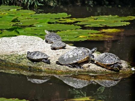 mirroring: Japanese Garden - turtles on road drifting on the water, mirroring