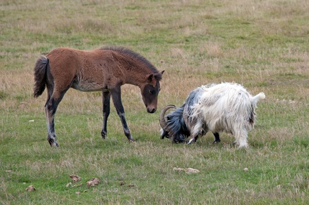 The southern Iceland, Iceland horses on pasture, a curious colt and a contentious Iceland Goat