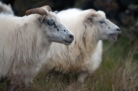 The North of Iceland, sheep drive near the Lake Myvatn, 2 sheep next to each other