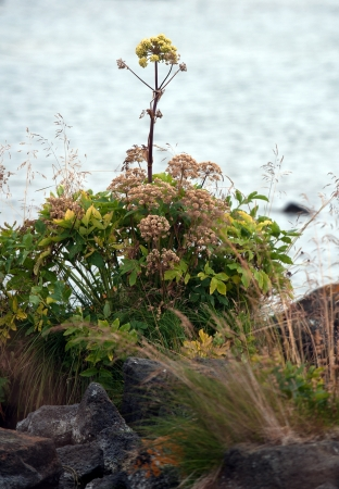The north-eastern Iceland, the native flora, angelica at Lake Myvatn