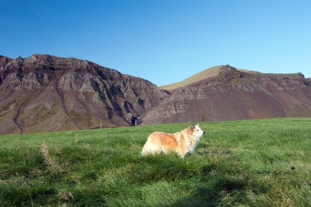 The north west of Iceland, the Icelandic dog  Iceland Spitz  before the mountains Bjarnarhafnarfjall of the northern peninsula Snaefellsness