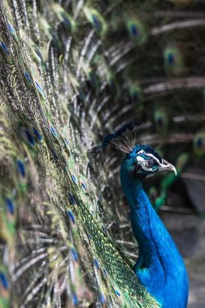upper floor: Blue peacock in close Maroparque of Santa Cruz, La Palma Stock Photo
