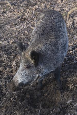 Wild boar in the park Tannenbusch
