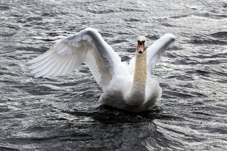 ruhr: Impressive Swan on the Ruhr in Wickede Stock Photo