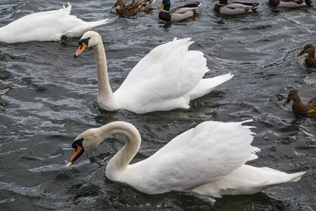 Swans and ducks on the Ruhr in Wickede photo