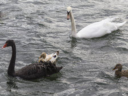 soest: Black Swan and white swan surrounded by Mallard Ducks on the Ruhr in Wickede