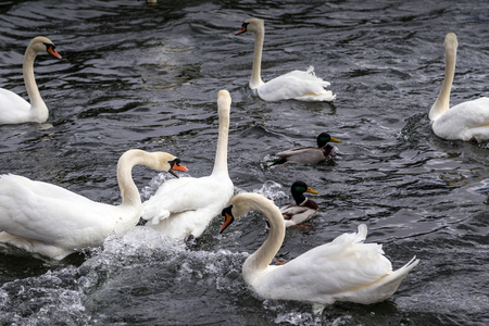 White swans surrounded by Mallard Ducks on the Ruhr in Wickede, on dispute from photo