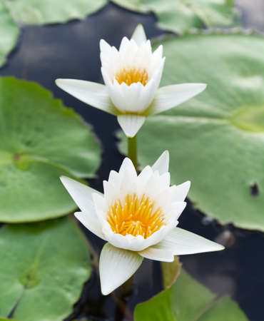 Blomming and bud Pink Lotus Flowers or water lily