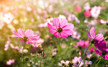 Cosmos flower in field, pink cosmos flowers blooming in the meadow Stock Photo