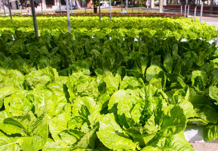 Green Lettuce leaves on garden beds in the vegetable field