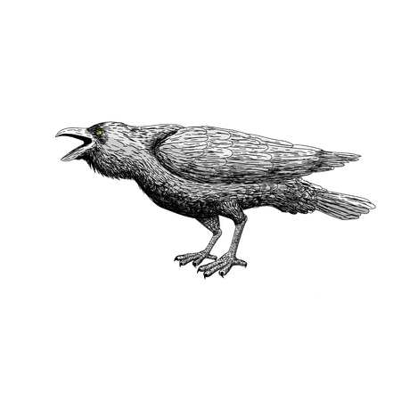 corvus: Black raven bird with isolated. hand drawing art. illustration ad vector. line art with animal.