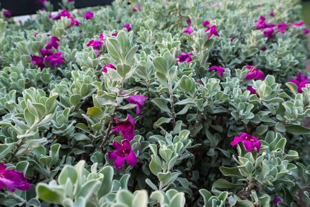 Leucophyllum frutescens or Neon flowers sprinkled with purple-pink flowers.