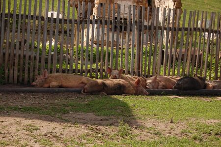 Pigs resting in the summer in the shade