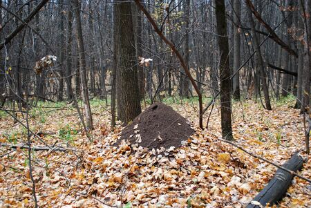 Anthill in the autumn deciduous forest.