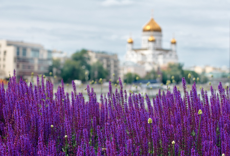 focus on foreground: lavender lawn on the Crimean embankment with Church of the Holy Martyrs Florus and Laurus on background. Moscow, Russia. focus foreground Stock Photo