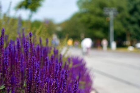 focus on the foreground: lavender flower bed with their purple flowers. summer park. focus foreground
