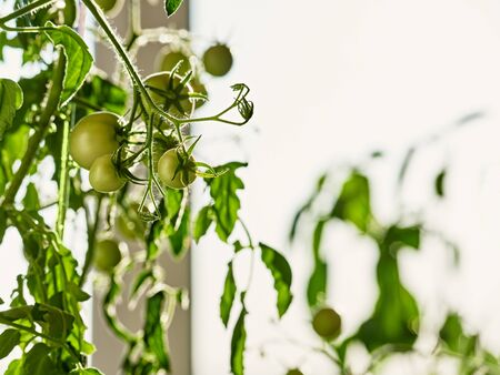Close up photo of young green tomato fruits growing indoor