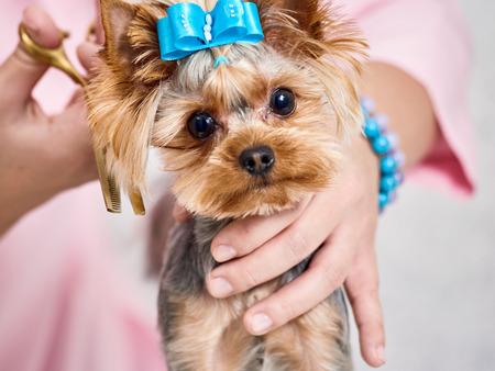 Yorkshire terrier on grooming