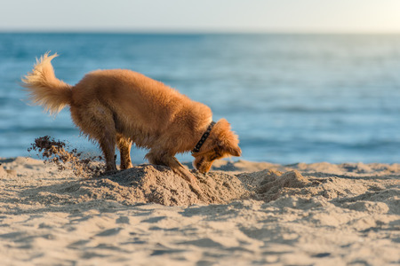 Dog digging sand