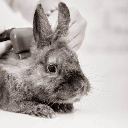 Closeup of vet doctor combing brown decorative rabbit
