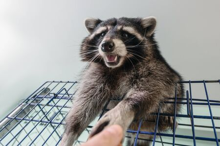 Closeup of female hand giving food to little raccoon in vet clinic