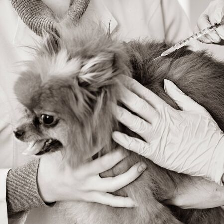 Little pomeranian spitz getting medicine vaccination against diseases Imagens - 132215433