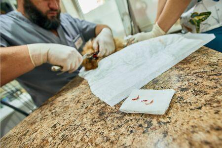 Procedure of dogs teeth removing in vet office, focus on extracted pomeranian teeth