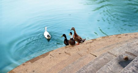 Asian duck floating on water, Lake Steps Stock Photo - 4712750