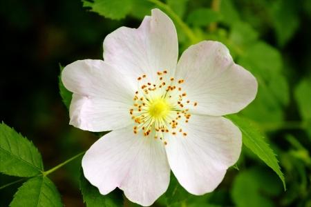 pflanzen: Flower of a Wild Rose Stock Photo