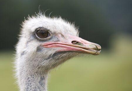 Close-Up of Ostrich head Banco de Imagens