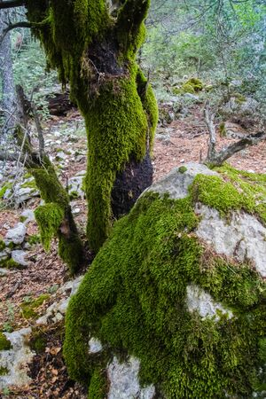 Fairy mossy forest with charred trunk covered with thick lichen.