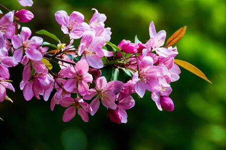 crab apple tree: Flowering branch of red-colored apple trees.
