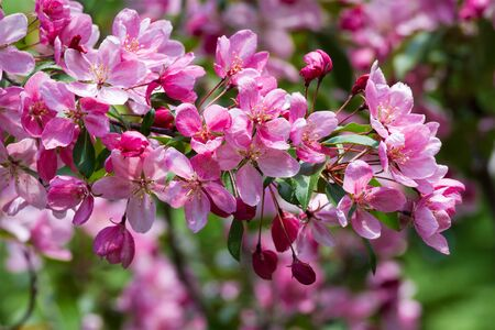 luxuriant: Luxuriant blossoms of red-colored apple-tree . Stock Photo