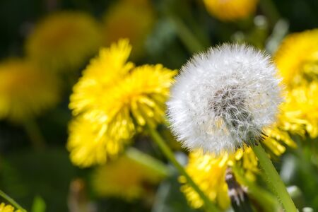 pappus: Close-up of many dandelions flowering and faded.