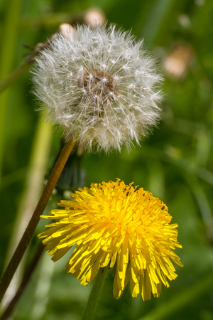 pappus: Two dandelion - one blooming, the other in fluffy parachutes seeds.