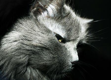 gray cat: Muzzle gray cat
