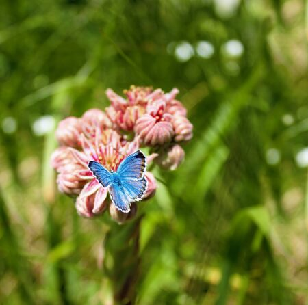 polyommatus icarus: Blue butterfly on a flower on blurred background. Stock Photo