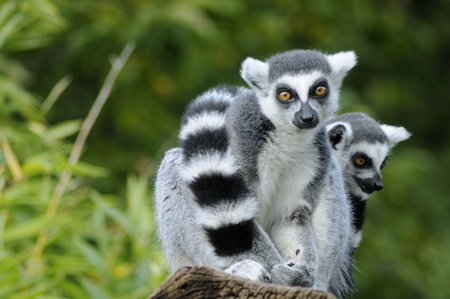 Two ring-tailed lemur sitting on a tree photo