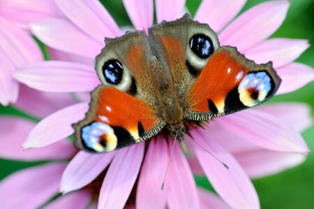 inachis: Peacock Butterfly (Inachis io) on violet flowers.