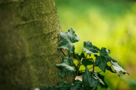 A tree covered with creeping ivy Stock Photo