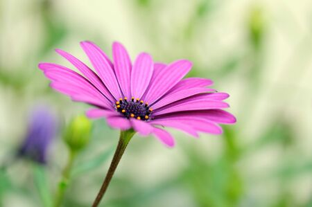 Floral details of Osteospermum. It is known as African daisy. photo
