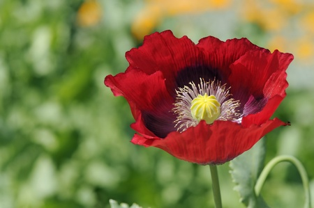 Beautiful red poppy flower closeup on spring meadows photo